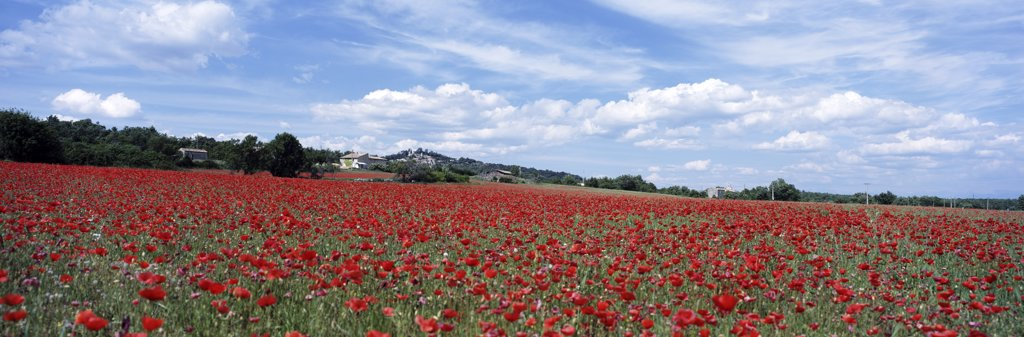 Stock Photo: 1783-12683 Looking across field of poppies to small village in Provence, France