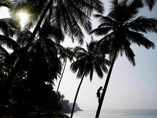 Stock Photo: 1783-14148 Silhouetted man climbing a palm tree to pick coconuts, Varkala, Kerala, South India