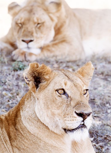 Stock Photo: 1783-16659 Lionesses lying in shade in Maasai Mara Game Reserve, Maasai Mara Game Reserve, Kenya