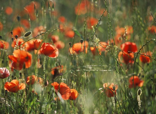 Stock Photo: 1783-1843 Red poppis in a field at dusk, Provence, France.