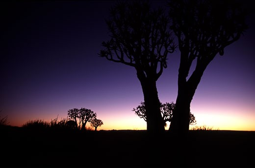 Stock Photo: 1783-18650 Quiver trees in the twilight, Namibia