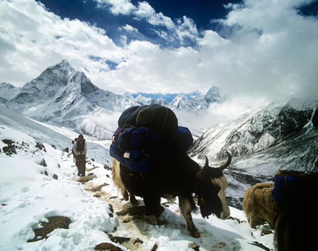 Stock Photo: 1783-18824 Yaks and porter in Himalayas, Dingboche to lobuche trail, Sagarmatha National Park, Solu Khumbu, Nepal.