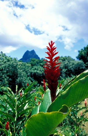 Stock Photo: 1783-21404 Red ginger flower in lush tropical scenery, Manihi, South Pacific