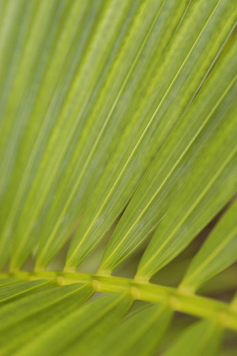 Detail of palm frond, Jamaica.  : Stock Photo
