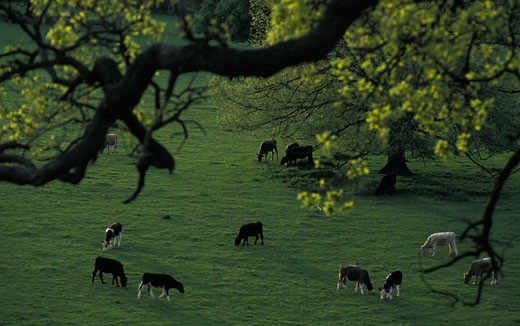 Stock Photo: 1783-22527 Cattle grassing in Basildon Park, Berkshire, England