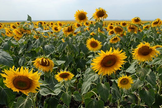 Stock Photo: 1783-23575 Field of sunflowers, Kiev, Ukraine .