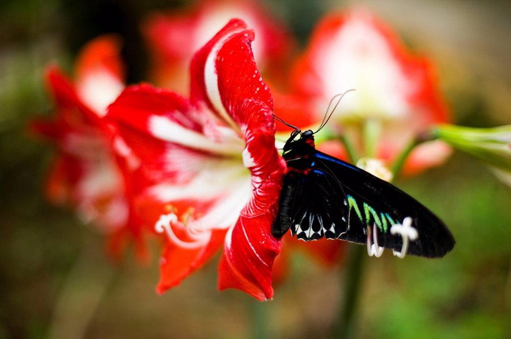 Stock Photo: 1783-28963 Cameron Highland Butterfly Farm, Cameron Highlands, Pahang, Malaysia