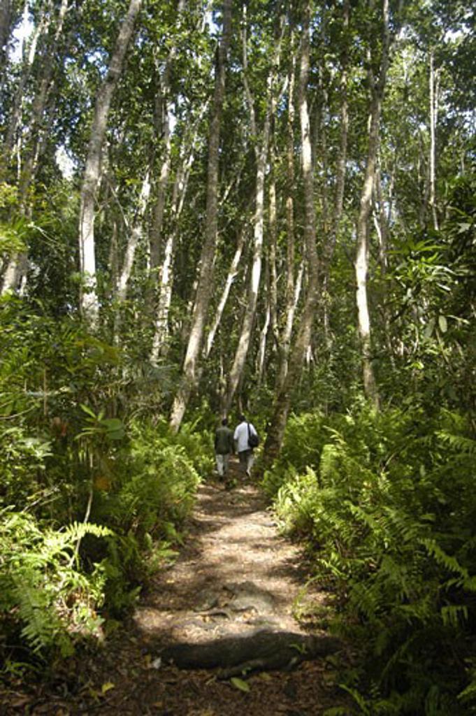 Stock Photo: 1783-3057 Tourist and guide walking through the Jozani Forest, Zanzibar, Tanzania.