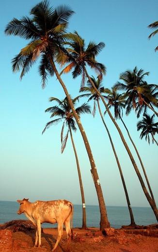Cow and palm trees on Anjuna BeachAnjuna Beach, Goa State, India, Asia. Cow and palm trees on Anjuna Beach : Stock Photo