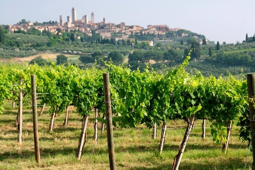Vines growing in front of hilltop town of San GimignanoTuscany, Italy. Vines growing in front of hilltop town of San Gimignano : Stock Photo