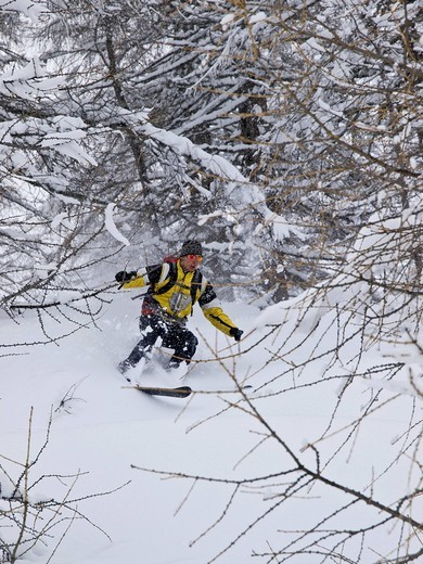 Skiing in a snow storm through snow laden trees, in larch forest. Ahrntal valley.Sudtirol, Italy. Skiing in a snow storm through snow laden trees, in larch forest. Ahrntal valley. : Stock Photo