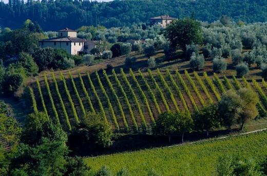 Vineyard and rural landscapeTuscany, Italy. Vineyard and rural landscape : Stock Photo