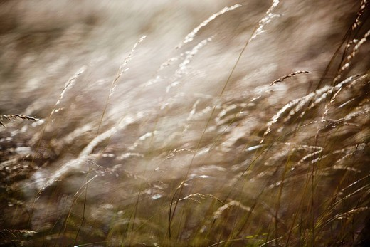 Stock Photo: 1783-32483 Details of grasses blowing in windKent, UK. Details of grasses blowing in wind