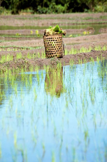 Stock Photo: 1783-5644 Rice basket in paddy field,Chaing Mai,Thailand.