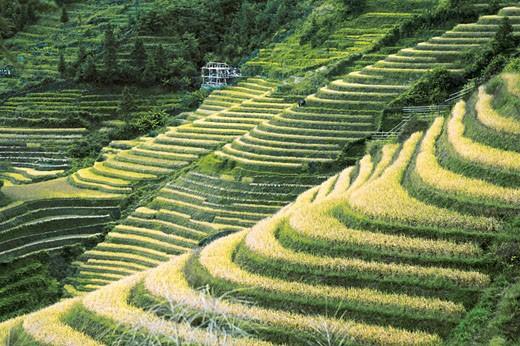 Autumn rice in Longji terraced fields, Longsheng County, Guilin City, Guangxi Zhuang Nationality Autonomous Region of People's Republic of China : Stock Photo