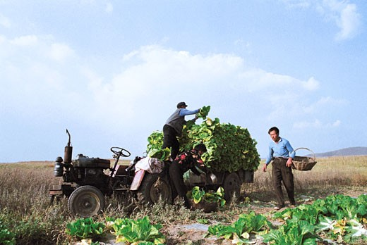 Men loading vegetables on tractor, Guyuan County, Hebei Province of People's Republic of China, : Stock Photo