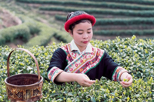 She Nationality girl picking tea leaves, Youshan tea garden, Beifeng Town, Fuzhou City, Fujian Province of People's Republic of China, : Stock Photo