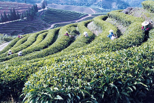 Workers picking tea in the Youshan tea garden, Shoushan Township, Fuzhou City, Fujian Province of People's Republic of China, : Stock Photo