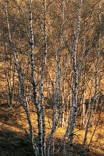 View of bare trees , White birch forest in World geology park Arab League Si Hatu in hoodoo park, Keshiketengqi, Chifeng City Inner Mongolia Autonomous Region of People's Republic of China : Stock Photo