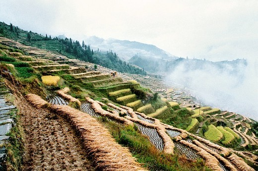The autumn harvest of terraced rice fields in Longji, Longsheng County, Guilin City, Guangxi Zhuang Nationality Autonomous Region of People's Republic of China : Stock Photo