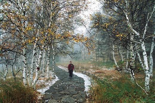 The early snow of Asihatu white birch forest, Keshiketengqi, Chifeng City Inner Mongolia Autonomous Region of People's Republic of China, : Stock Photo