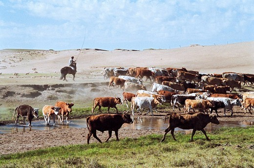 Herdsman with cattle on grassland of Gonggeer Prairie, Keshiketengqi, Chifeng City Inner Mongolia Autonomous Region of People's Republic of China, : Stock Photo