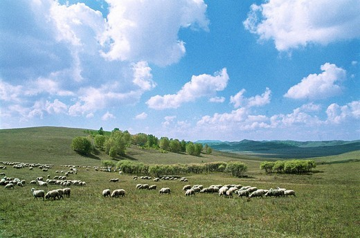 Flock of sheep grazing, Mulan, Hebei Province of People's Republic of China : Stock Photo
