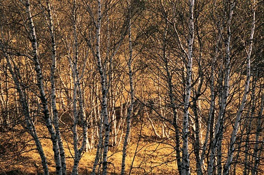 Stock Photo: 1787R-4308 View of bare trees , White birch forest in World geology park Arab League Si Hatu in hoodoo park, Keshiketengqi, Chifeng City Inner Mongolia Autonomous Region of People's Republic of China
