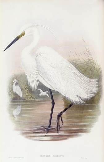 Stock Photo: 1788-28957 Zoology - Birds - Ciconiiformes - Little egret (Egretta garzetta). Engraving by John Gould.