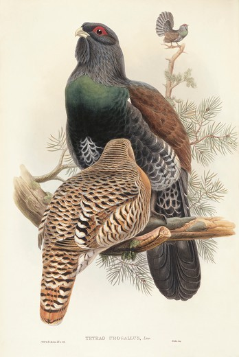Stock Photo: 1788-28959 John Gould (1804-1881), The Birds of Great Britain, 1862-1873. Capercaillie (Tetrao urogallus). Colored engraving.