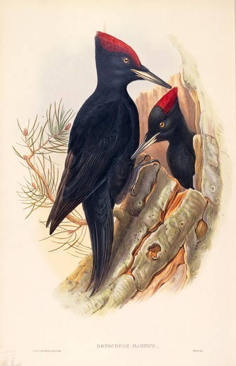 Stock Photo: 1788-28961 John Gould (1804-1881), The Birds of Great Britain, 1862-1873. Black Woodpecker (Dryocopus martius). Colored engraving.