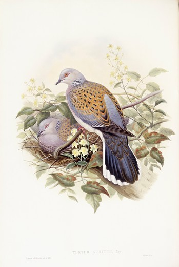 Zoology - Birds - Columbiformes - European turtle-dove (Streptopelia turtur). Engraving by John Gould. : Stock Photo