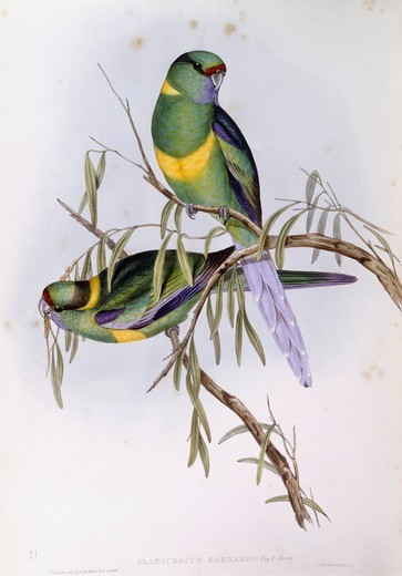 Stock Photo: 1788-28968 Zoology - Birds - Psittaciformes - Mallee ringneck (Platycercus or Barnardius barnardi). Engraving by John Gould.