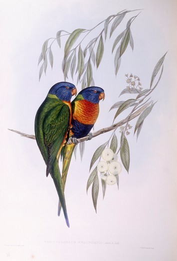 Zoology - Birds - Psittaciformes - Ornate lorikeet (Trichoglossus ornatus). Engraving by John Gould. : Stock Photo