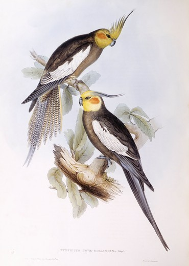 Stock Photo: 1788-28973 Zoology - Birds - Psittaciformes - Cockatiel (Nymphicus hollandicus). Engraving by John Gould.