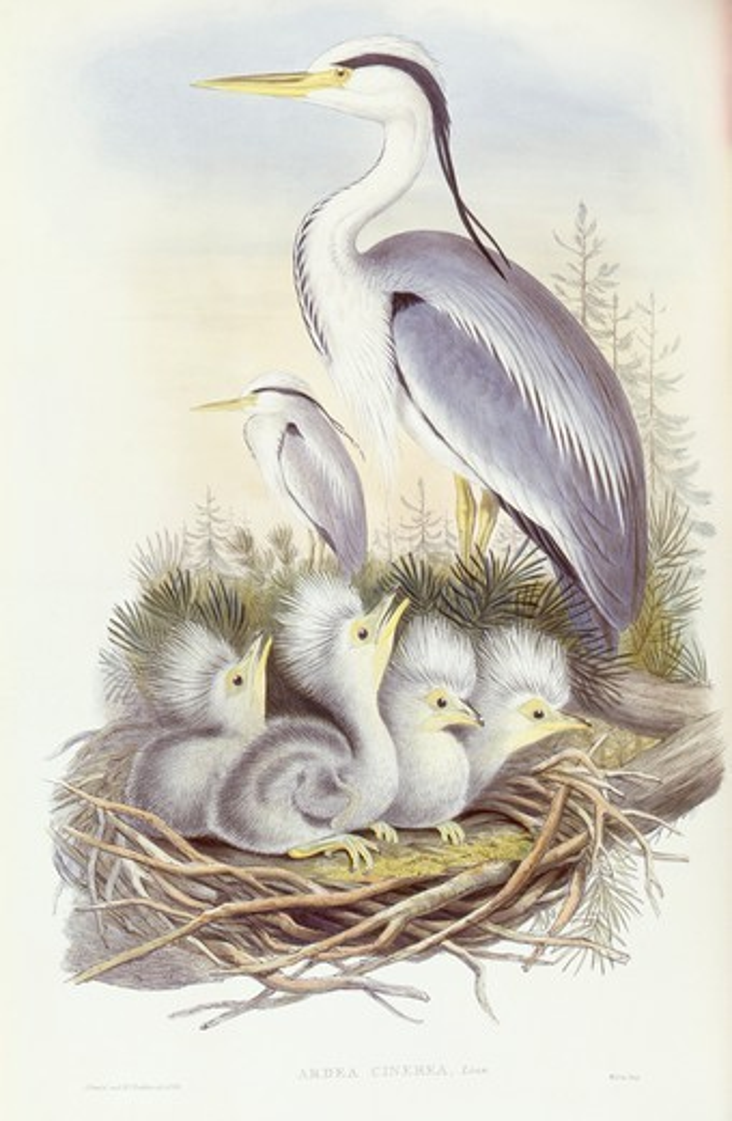 Stock Photo: 1788-28975 Zoology - Birds - Ciconiiformes - Grey heron (Ardea cinerea). Engraving by John Gould.
