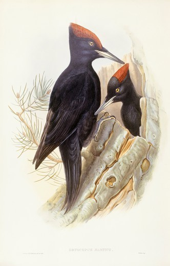 Stock Photo: 1788-28977 Zoology - Birds - Piciformes - Black woodpecker (Dryocopus martius). Engraving by John Gould.