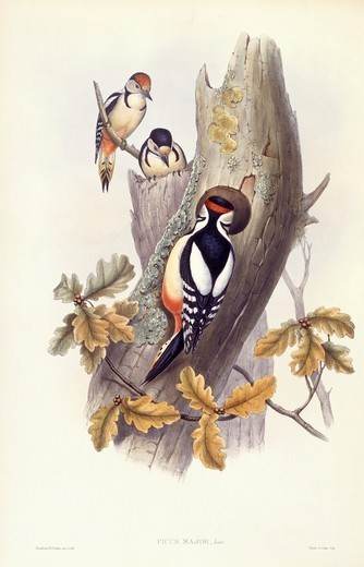 Stock Photo: 1788-28978 Zoology - Birds - Piciformes - Great spotted woodpecker (Dendrocopos major). Engraving by John Gould.