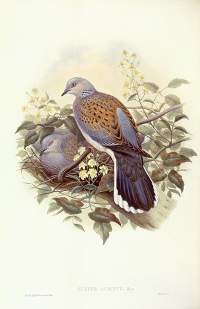 Zoology - Birds - Columbiformes - European turtle-dove (Streptopelia turtur). Engraving by John Gould. : Stock Photo