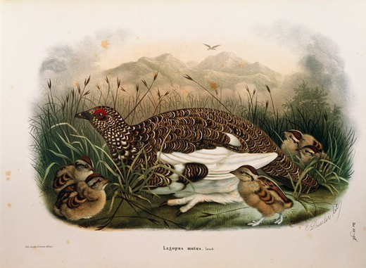 Stock Photo: 1788-28983 Eugenio Bettoni, Storia naturale degli uccelli che nidificano in Lombardia (Natural history of birds that nest in Lombardy) - Rock Ptarmigan (Lagopus muta). Plate 82-98, engraving by Oscar Dressler (1865-1868).