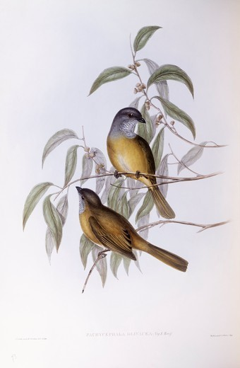 Stock Photo: 1788-28998 Zoology - Birds - Passeriformes - Olive whistler (Pachycephala olivacea). Engraving by John Gould.