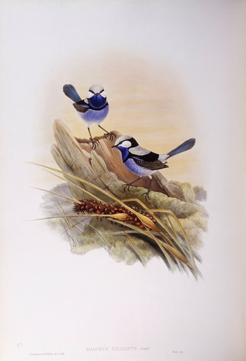 Stock Photo: 1788-29000 Zoology - Birds - Passeriformes - Splendid fairywren (Malurus splendens). Engraving by John Gould.