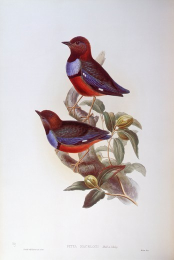 Stock Photo: 1788-29001 Zoology - Birds - Passeriformes - Red-bellied pitta (Pitta erythrogaster). Engraving by John Gould.