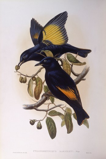 Stock Photo: 1788-29002 Zoology - Birds - Passeriformes - Satin bowerbird (Ptilonorhynchus violaceus). Engraving by John Gould.