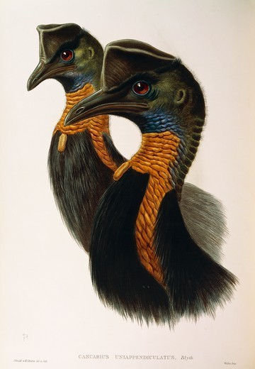 John Gould (1804-1881), The Birds of Australia, 1840-1848 - Northern Cassowary (Casuarius unappendiculatus). Supplement, Plate 74, engraving, 1848. : Stock Photo