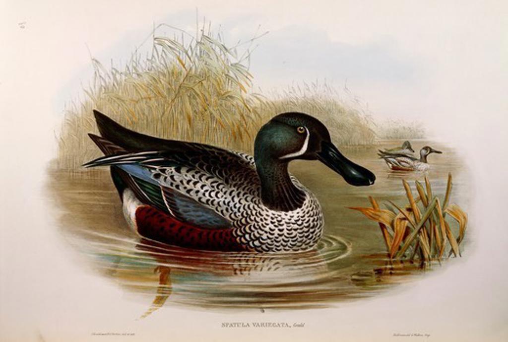 John Gould (1804-1881), The Birds of Australia, 1840-1848 -  Australasian Shoveler (Anas rhynchotis variegata). Supplement, Plate 80, engraving, 1848. : Stock Photo