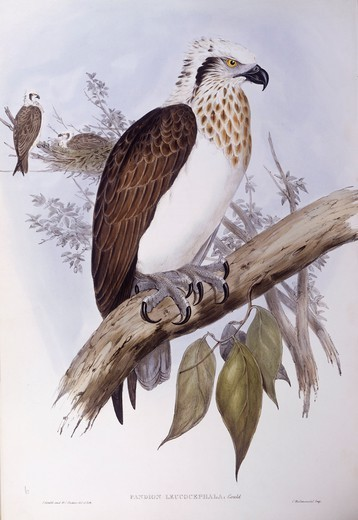 Zoology - Birds - Falconiformes - Australian osprey (Pandion haliaetus cristatus). Engraving by John Gould. : Stock Photo