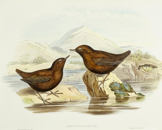 Zoology - Birds - Falconiformes - Collared sparrowhawk (Accipiter cirrocephalus). Engraving by John Gould. : Stock Photo