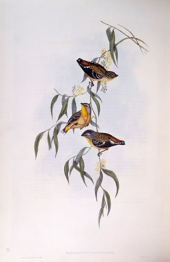 Stock Photo: 1788-29014 Zoology - Birds - Passeriformes - Spotted pardalote (Pardalotus punctatus). Engraving by John Gould.