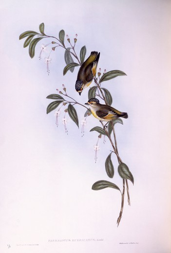 Stock Photo: 1788-29015 Zoology - Birds - Passeriformes - Red-browed pardalote (Pardalotus rubricatus). Engraving by John Gould.